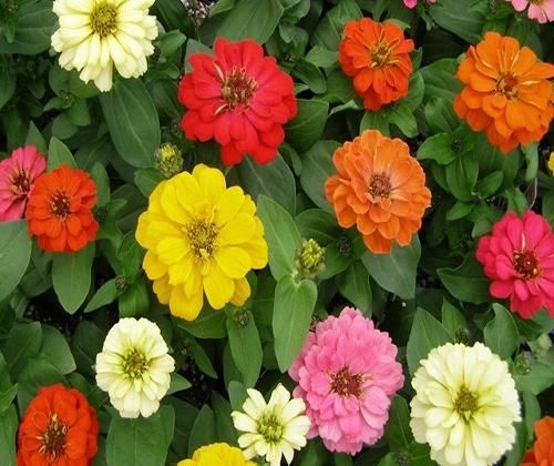 hạt giống hoa cúc ngũ sắc