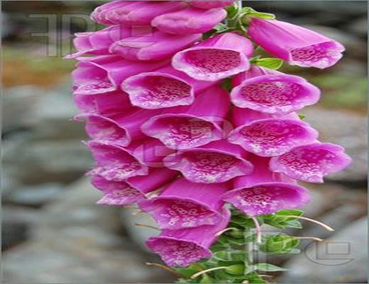 hạt giống hoa mao địa hoàng