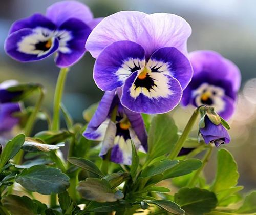 hạt giống hoa pansy