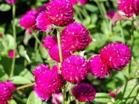 hạt giống hoa cúc nút áo