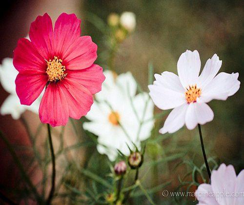 hạt giống hoa cúc sao nháy