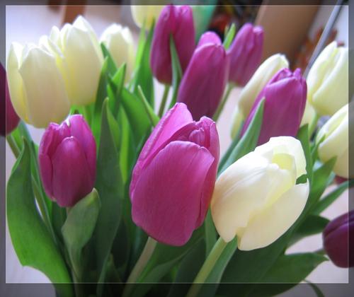 củ hoa tuylip