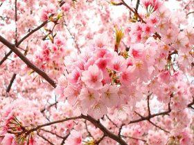 hạt giống hoa anh đào