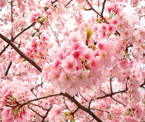 Image result for hoa anh đào