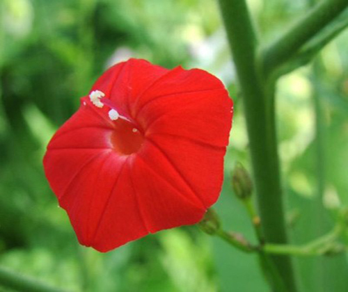 hạt giống hoa dây leo