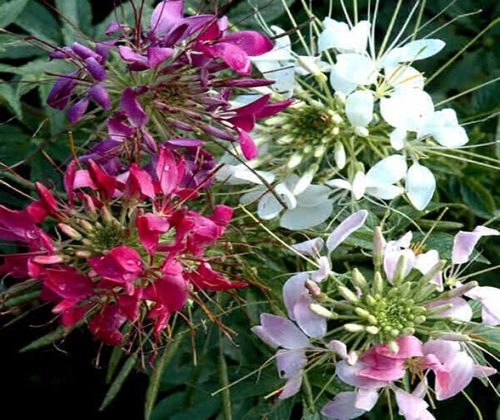 hạt giống hoa hồng ry