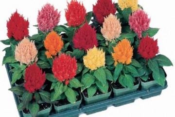 Những hạt giống hoa được ưa chuộng nhất