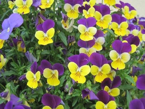 hoa-viola2