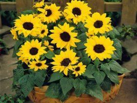 hạt giống hoa hướng dương lùn