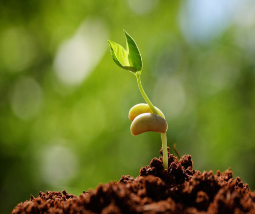 hạt giống rau
