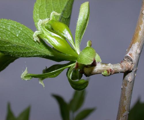 hạt giống cây đỗ trọng