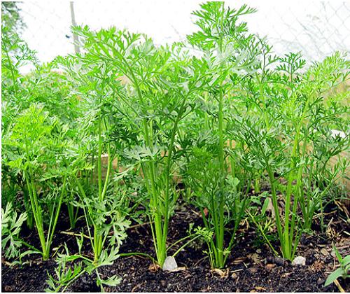 hạt giống củ cà rốt