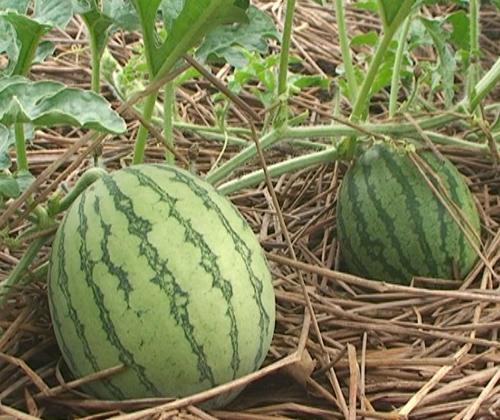 hạt giống dưa hấu