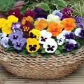 hạt giống hoa pangxe