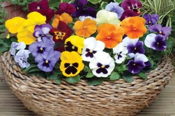 Hướng dẫn trồng hạt giống hoa pangxe