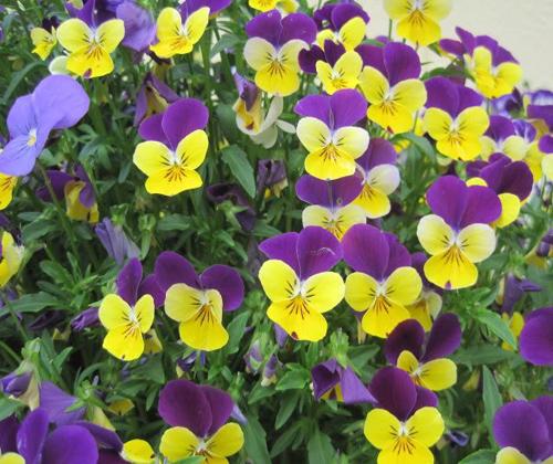 hạt giống hoa các loại