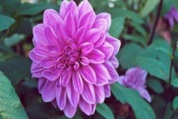 Kĩ thuật trồng và chăm sóc hoa thược dược