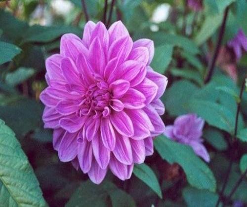 hạt giống hoa thược dược
