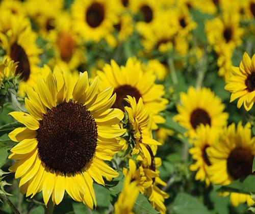 các loại hạt giống hoa tính cách