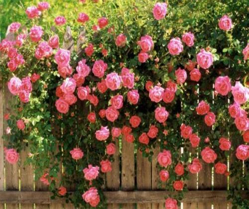 hạt giống hoa hồng leo