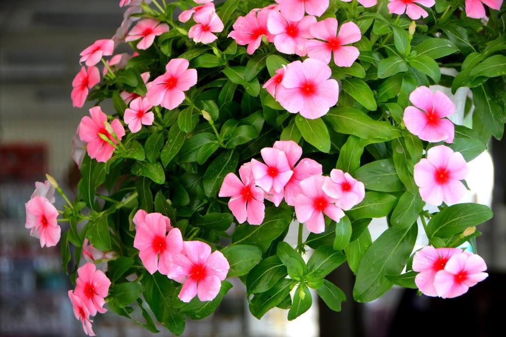 hạt giống hoa dừa cạn