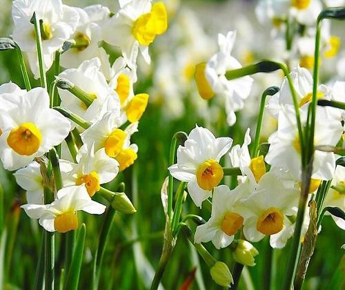 Củ giống hoa thủy tiên - Vua hạt giống Việt Nam