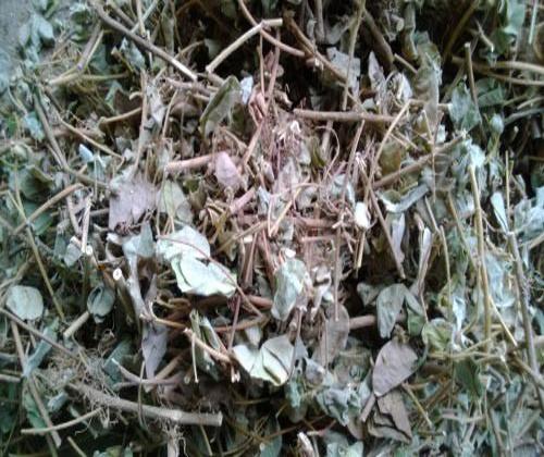hạt giống kim tiền thảo