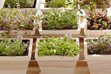 Hướng dẫn trồng rau mầm