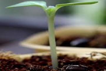 Xử lý hạt giống trước khi gieo trồng