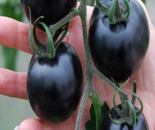 hạt giống cà chua đen