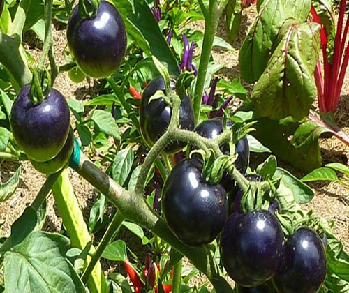 quả cà chua đen