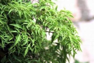 Kĩ thuật trồng cây đinh lăng