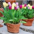 kĩ thuật trồng hoa tuylip