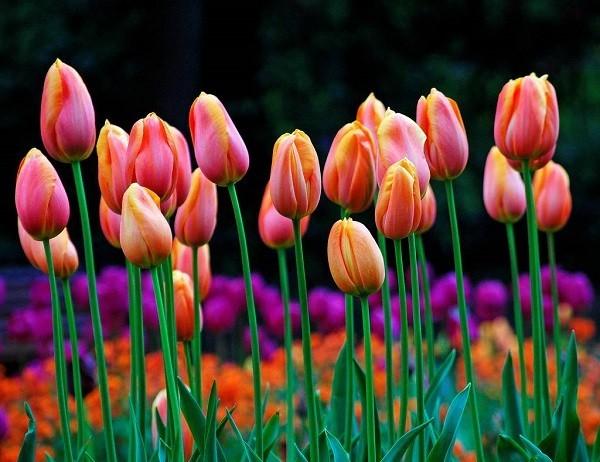 trồng hoa tuylip tốt nhất