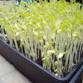 chăm sóc hạt giống rau mầm