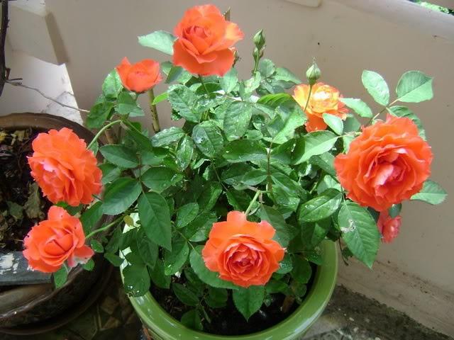 Kĩ thuật trồng hoa hồng tỉ muội