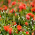kĩ thuật trồng hoa hồng tỷ muội