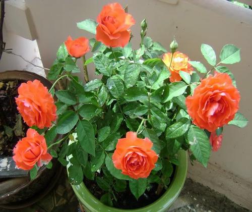 hoa hồng tỷ muội đẹp
