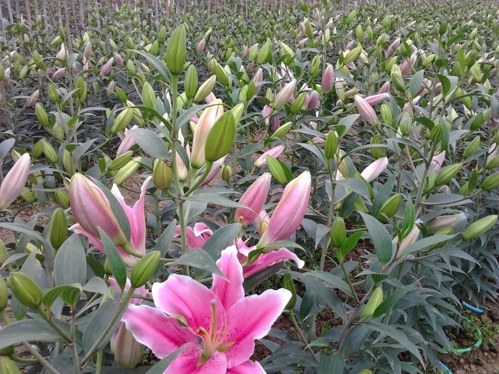 kĩ thuật trồng hoa ly