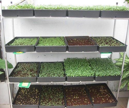 cách trồng hạt giống rau