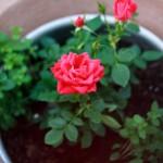 cách trồng hoa hồng