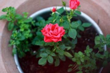 Kĩ thuật trồng hoa hồng trong chậu
