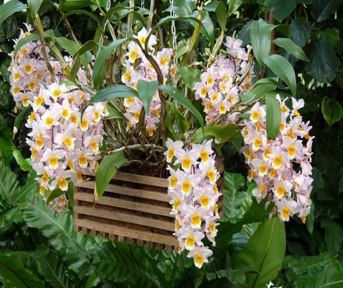kĩ thuật trồng hoa treo nhà