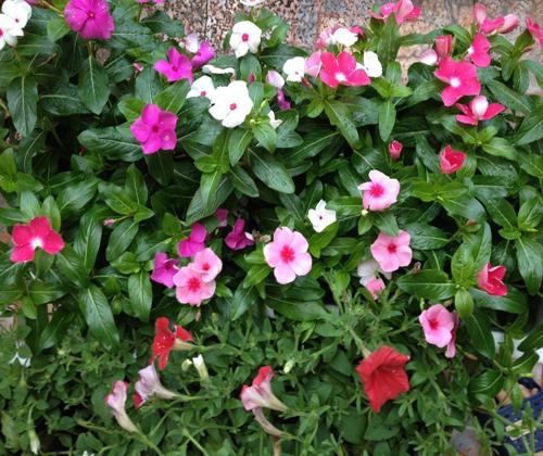 Hoa dừa cạn rủ