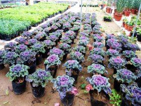 hoa bắp cải đẹp