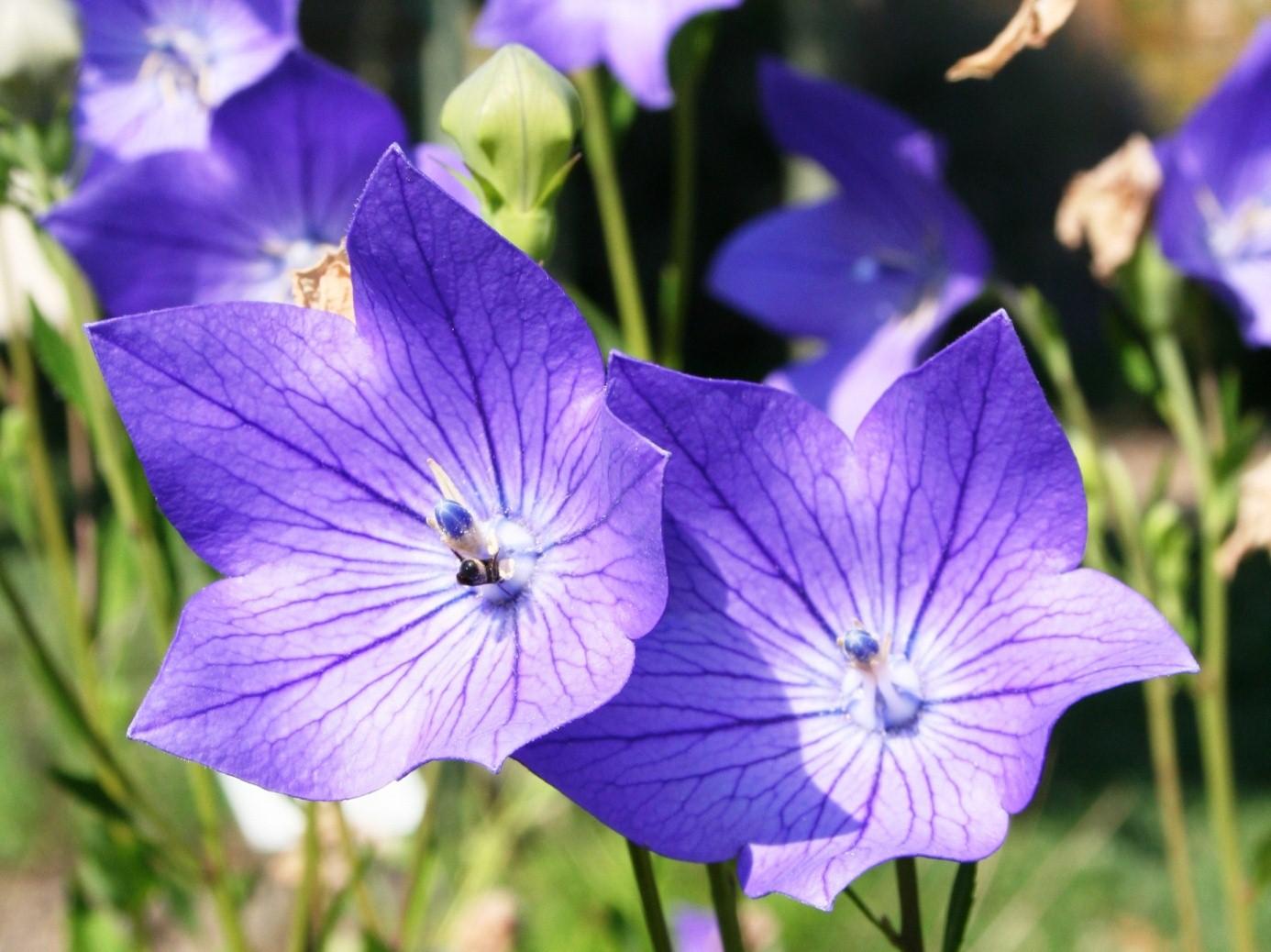 hoa cát cánh