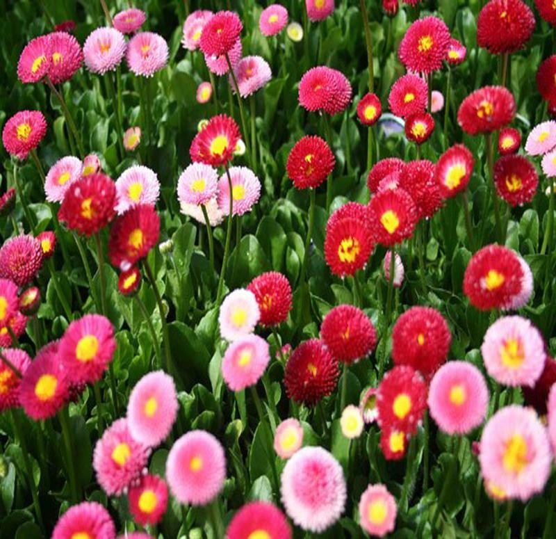 hoa cúc anh đẹp
