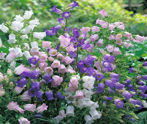 hạt giống hoa chuông