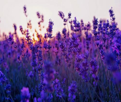 hạt giống hoa oải hương