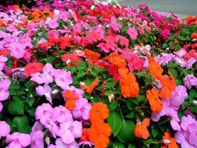 hoa mai địa thảo đơn đẹp